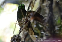 colibrí chupasavia 2