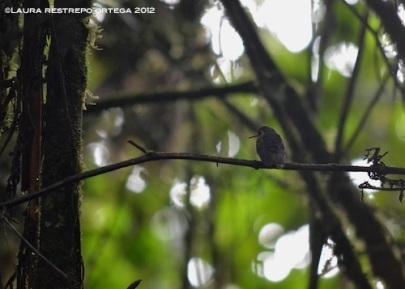 colibrí pechipuntiado 2