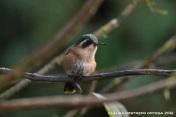 colibrí pechipuntiado