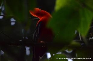 rupicola peruvianus 15