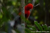 rupicola peruvianus 19