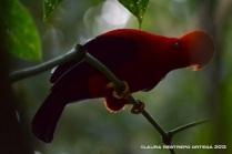 rupicola peruvianus 23