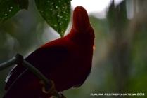 rupicola peruvianus 24