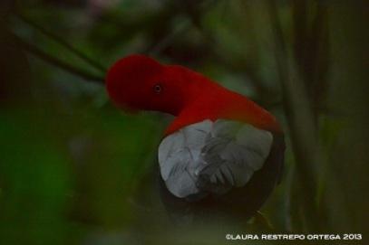 rupicola peruvianus 26