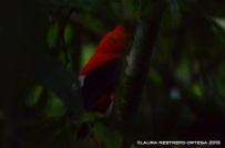 rupicola peruvianus 27