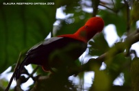 rupicola peruvianus 28