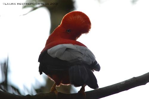 rupicola peruvianus 29