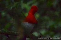 rupicola peruvianus 33