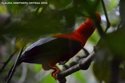 rupicola peruvianus 36
