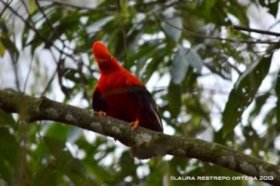 rupicola peruvianus 4