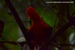 rupicola peruvianus 48