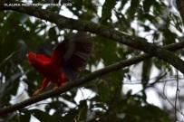rupicola peruvianus 7
