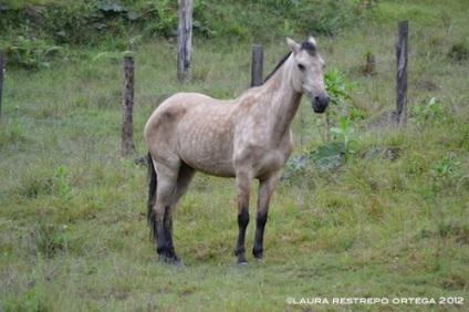 26-caballo