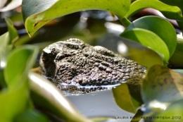amphibians 31