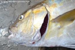 15 -pescado bravo