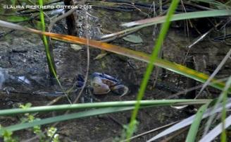 sapzurro 28 cangrejo azul
