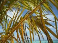 8 coconut tree 1