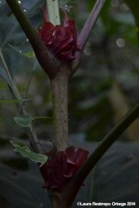 capurgana - flores 2