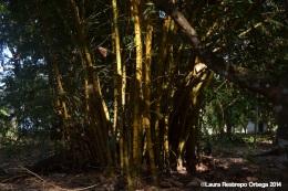 sapzurro - bambu