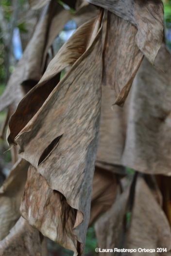 sapzurro - hojas de platano
