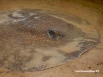 Apaporis 91 sting ray