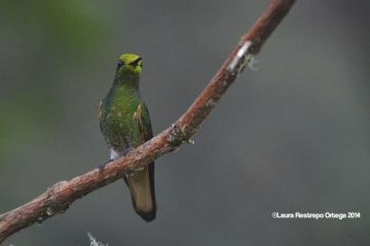 reserva orejiamarillo colibrí 1