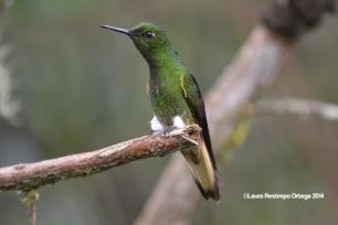 reserva orejiamarillo colibrí 10