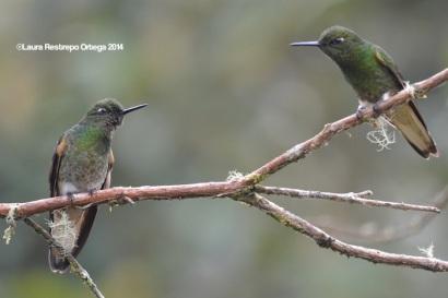 reserva orejiamarillo colibrí 12