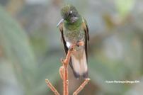 reserva orejiamarillo colibrí 13