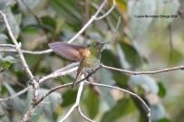 reserva orejiamarillo colibrí 15