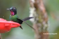 reserva orejiamarillo colibrí 16