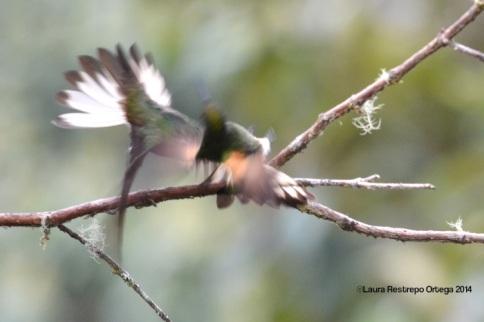 reserva orejiamarillo colibrí 19