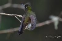 reserva orejiamarillo colibrí 2