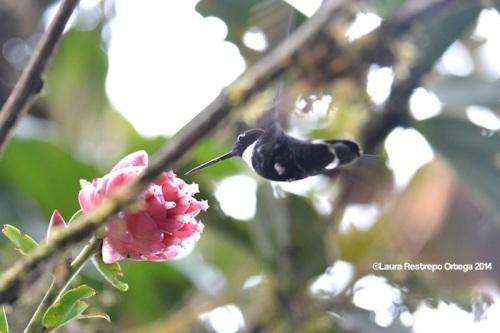 reserva orejiamarillo colibrí 21