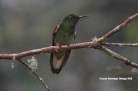 reserva orejiamarillo colibrí 3