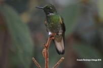reserva orejiamarillo colibrí 5