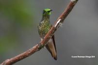 reserva orejiamarillo colibrí 6