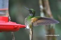 reserva orejiamarillo colibrí 7