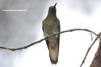 reserva orejiamarillo colibrí 8