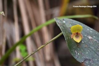 reserva orejiamarillo orquídea 14