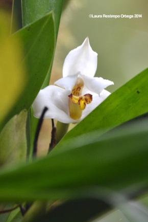 reserva orejiamarillo orquídea 15