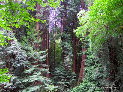 SF Muir Woods 1