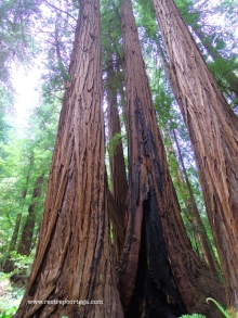 SF Muir Woods 11
