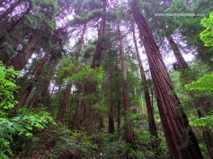 SF Muir Woods 4