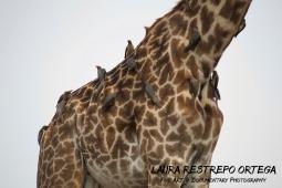 TNZ11-Africa giraffes 4