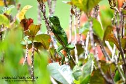 AML1-lizard Cordoba Colombia reptile green nature horizontal 2