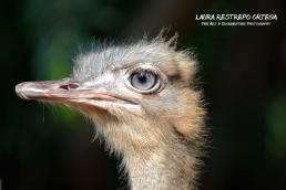 AML2-ostrich Cordoba Colombia poirtrait animal horizontal 2