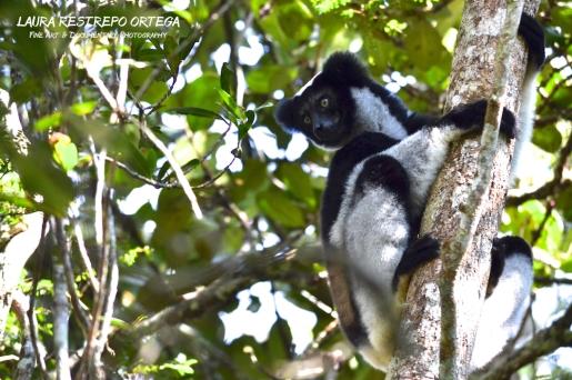 MDG5-lemurs