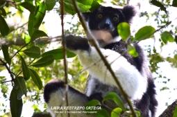 MDG6-lemurs