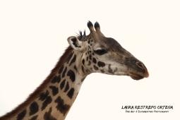 TNZ10-Africa giraffes 6